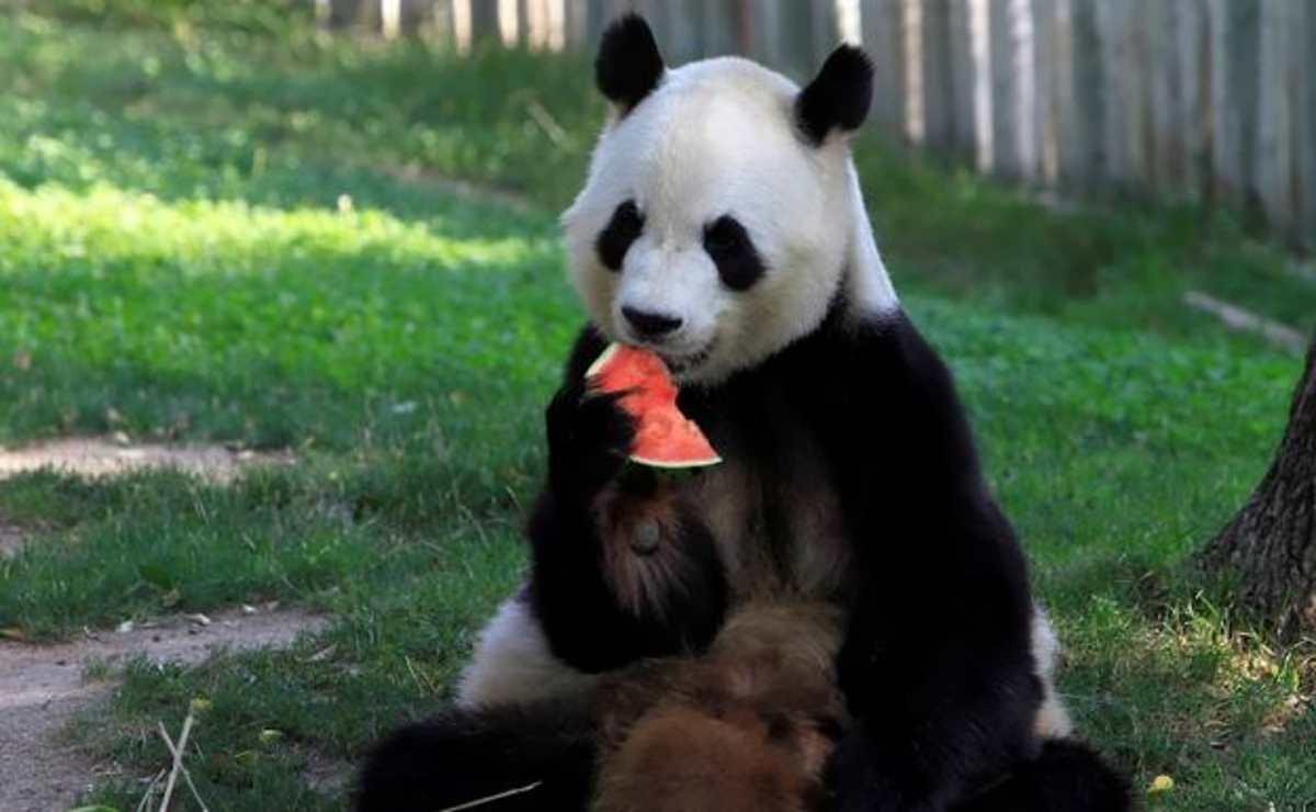 I Panda di San Diego tornano in Cina
