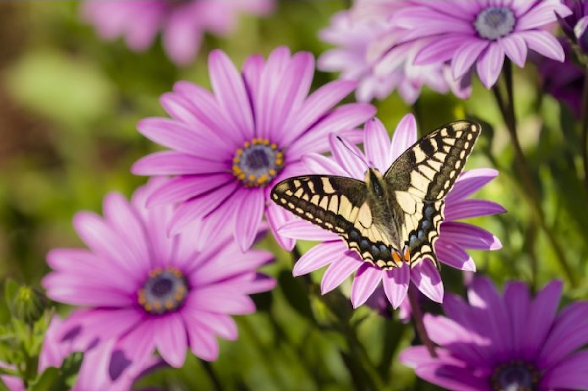Non solo anima zen, il significato delle farfalle al tempo del coronavirus. Simboli divini per le antiche civiltà, trasformazione profonda in chiave psicologica