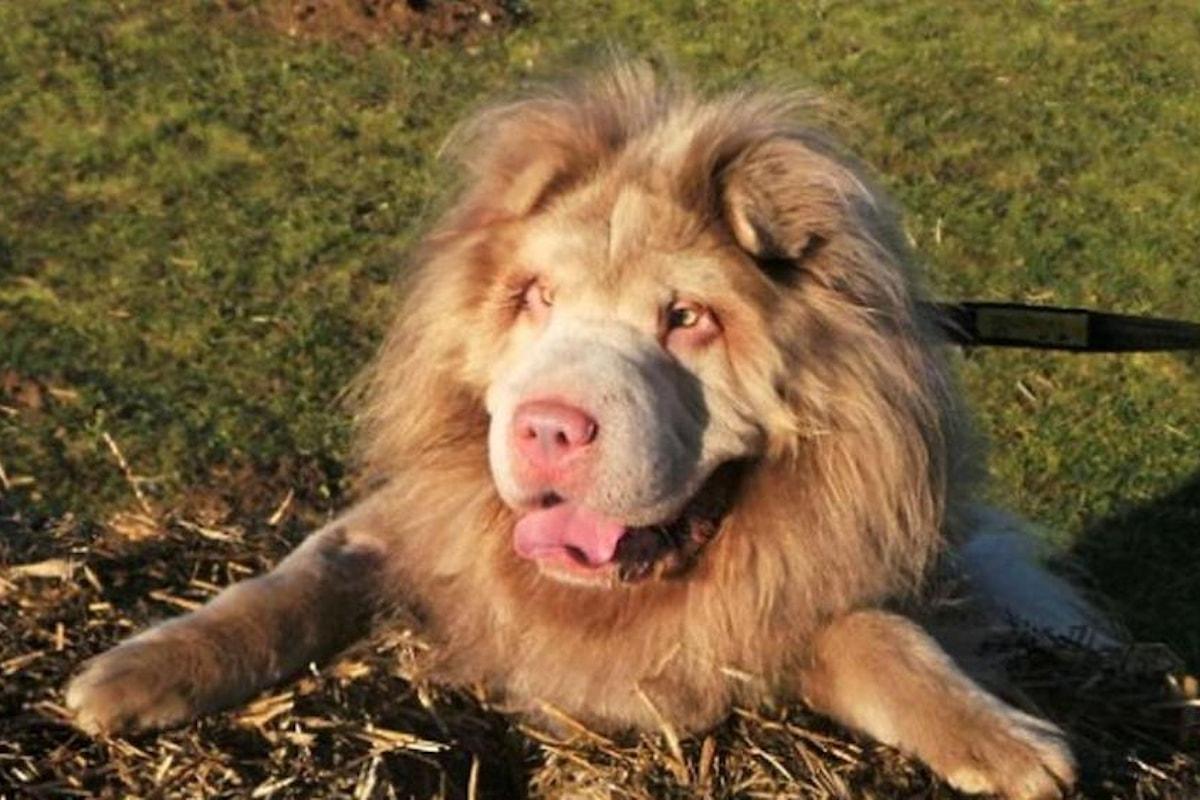 Avere in casa un cane che sembra un leone