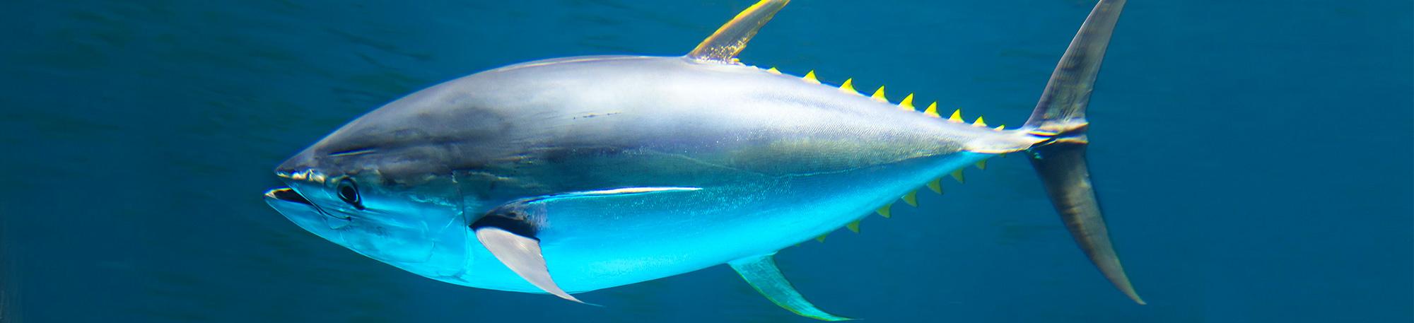 Quali sono le specie di tonno usate per il tonno in scatola? Dove viene pescato?